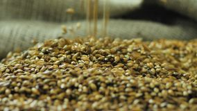 As mãos do fazendeiro derramam a cevada para fazer a uma variedade escura de cerveja do ofício que cai no 59,94 fps de superfície filme