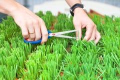 As mãos do homem que cortam a grama verde com tesouras, o jardineiro cortam a grama, as mãos do homem guardam tesouras e para c fotografia de stock