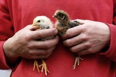 As mãos do homem que guardam galinhas do bebê imagens de stock royalty free