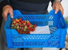 As mãos do homem que guardam morangos vermelhas suculentas em uma caixa azul fotografia de stock
