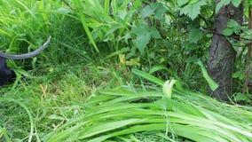 As mãos do homem segam a grama alta verde manualmente com um crescente ou uma foice do vintage filme