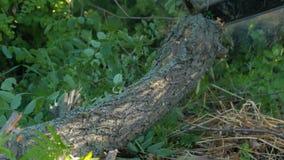 As mãos do lenhador do homem que desbastam abaixo de um tronco de árvore vivo na serra de cadeia verde das madeiras vídeos de arquivo