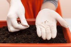 As mãos do ` s da mulher nas luvas mantêm as sementes do tomate e da pimenta plantados na mão Plantando plântulas em um potenciôm fotos de stock