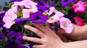 As mãos do ` s da mulher tocam em flores no canteiro de flores Imagem de Stock