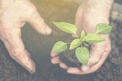 As mãos do ` s do ancião estão plantando a plântula no solo toned fotos de stock