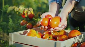As mãos do ` s do fazendeiro guardam alguns tomates, ao lado dele lá são uma caixa de madeira com tomates filme