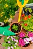 As mãos em luvas verdes plantam flores no potenciômetro Fotos de Stock Royalty Free