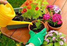 As mãos em luvas verdes plantam flores no potenciômetro Imagens de Stock Royalty Free