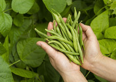 As mãos encheram-se com os feijões verdes frescos do jardim Imagens de Stock