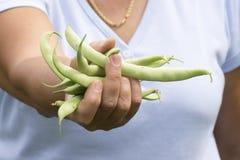 As mãos encheram-se com os feijões verdes frescos do jardim Foto de Stock
