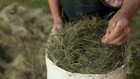 As mãos enrugadas de uma mulher idosa dobram a grama seca, feno em um saco da lona Close-up Trabalho do país, cultivo de subsistê video estoque
