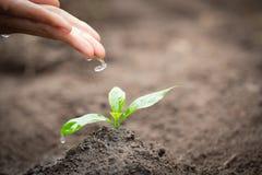 As mãos estão gotejando a água às plântulas pequenas, planta uma árvore, reduzem o aquecimento global, dia de ambiente de mundo imagens de stock royalty free