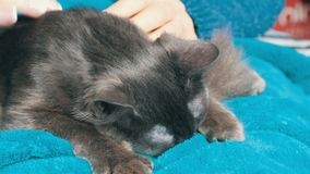 As mãos fêmeas afagam delicadamente a pele de um gato cinzento que durma em seu regaço Purrs e massagens do gato com suas patas filme