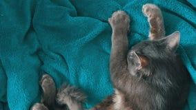 As mãos fêmeas afagam delicadamente a pele de um gato cinzento que durma vista superior Purrs e massagens do gato com suas patas video estoque