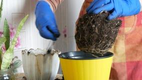 As mãos fêmeas em luvas azuis são flores home transplantadas em um potenciômetro amarelo bonito novo A grande raiz do filme