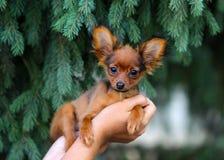 As mãos fêmeas guardam um cachorrinho vermelho Terrier de brinquedo de cabelos compridos do russo Imagens de Stock Royalty Free