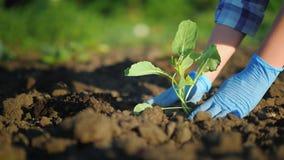 As mãos fêmeas nas luvas plantam uma planta pequena no jardim fotos de stock royalty free
