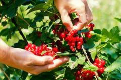As mãos fêmeas rasgam bagas do corinto vermelho Foto de Stock
