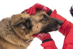 As mãos gloved do ` s das mulheres afagaram o cão-pastor Foto de Stock Royalty Free