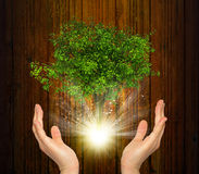As mãos guardam a árvore e raios de luz verdes mágicos Fotos de Stock Royalty Free