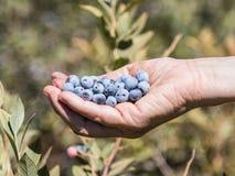 As mãos guardam diversas bagas maduras do mirtilo no fundo de arbustos verdes Fotografia de Stock Royalty Free