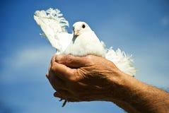 As mãos idosas prendem uma pomba branca imagens de stock royalty free