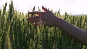 As mãos lentas tocam nas orelhas verdes do trigo filme