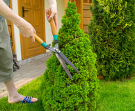 As mãos são tosquiadeiras cortadas do arbusto Foto de Stock
