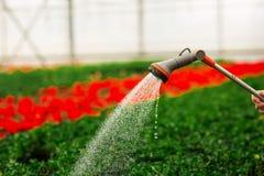 As m?os das mulheres que molham flores e as folhas verdes no jardim foto de stock