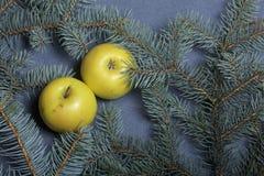As maçãs amarelas maduras encontram-se entre os ramos do abeto vermelho azul Fotos de Stock