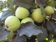 As maçãs das sinapses não são ainda maduras, e penduram entre as folhas na árvore fotografia de stock