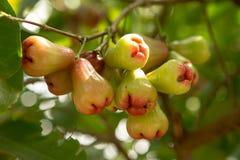 As maçãs de Rosa ou o chomphu cantam na árvore foto de stock royalty free