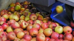 As maçãs deixam cair em um escaninho de gerencio após a classificação pelo tamanho filme