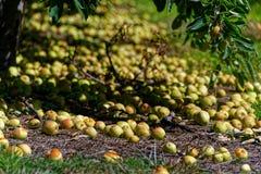 As maçãs descoforam a mentira na terra em um pomar fotos de stock