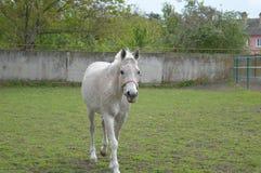 As maçãs do cavalo Fotografia de Stock
