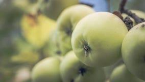 As maçãs em um ramo de árvore no verão jardinam, perto Maçãs maduras que penduram em um ramo no jardim fotografia de stock royalty free
