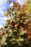 As maçãs maduras frescas na árvore no verão jardinam Apple colhe Foto de Stock Royalty Free