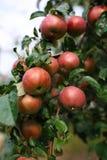 As maçãs maduras frescas na árvore no verão jardinam Apple colhe Fotos de Stock Royalty Free