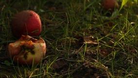 As maçãs maduras vermelhas estão encontrando-se na terra no jardim sob uma árvore na grama formigas que rastejam sobre quebrado e vídeos de arquivo