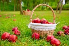 As maçãs na cesta em árvores de grama colocam Fotografia de Stock Royalty Free
