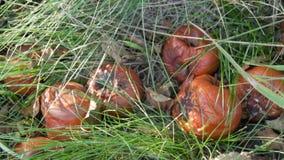 As maçãs podres encontram-se na grama no jardim video estoque