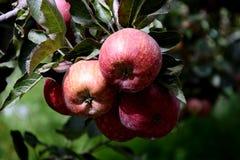 As maçãs são colhidas na grande escala na Índia de Himachal Pradesh imagem de stock