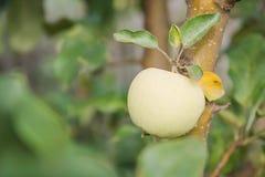 As maçãs verdes crescem As maçãs crescem em um jardim Imagens de Stock Royalty Free