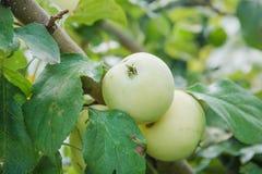 As maçãs verdes crescem As maçãs crescem em um jardim Fotografia de Stock