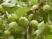 As maçãs verdes pequenas frutificam na filial Imagens de Stock