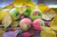 As maçãs verdes vermelhas maduras encontram-se em uma tabela de madeira velha cercada pelas folhas secas Foto de Stock Royalty Free