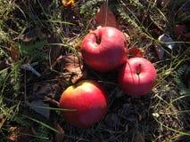 As maçãs vermelhas maduras encontram-se na grama sob a árvore imagem de stock