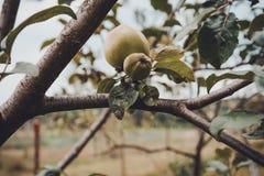 As ma??s verdes em uma Apple-?rvore ramificam no jardim fotografia de stock royalty free