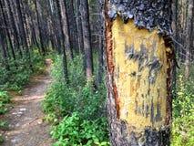 As marcas possíveis da garra do puma ou de urso riscaram em um al do pinheiro imagens de stock royalty free