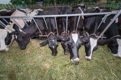 As massas acobardam comer gramas Foto de Stock